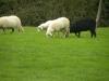 le pecorelle