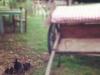 carrozza e gallinella con pulcini